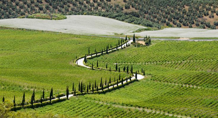 Wijngaarden bij Ronda, Spanje